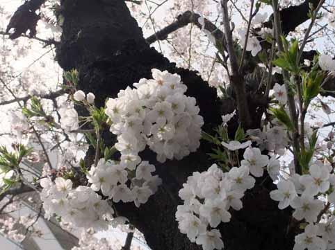 桜並木02.jpg